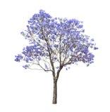 Mooie bloeiende Jacaranda-boom Stock Foto's