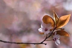 Mooie bloeiende Japanse kers Sakura Seizoenachtergrond Openlucht natuurlijke vage achtergrond met bloeiende boom in de lente Royalty-vrije Stock Afbeeldingen