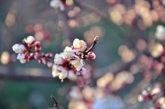 Mooie bloeiende kers Stock Foto