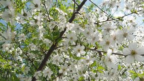 Mooie bloeiende kersenboom Bloesemachtergrond Zonnige dag stock video