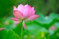 Mooie Bloeiende lotusbloem Royalty-vrije Stock Fotografie