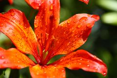 Mooie bloeiende oranje bloem Royalty-vrije Stock Foto