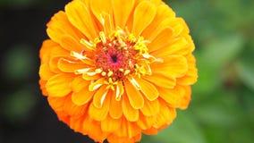 Mooie bloeiende oranje bloem in de tuin Jonge volwassenen Langzame Motie 3840x2160 stock footage