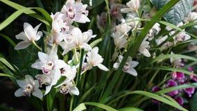 Mooie bloeiende orchideebloem in de tuin met natuurlijke groene bloemenachtergrond Verbazende installaties voor prentbriefkaar en Stock Fotografie