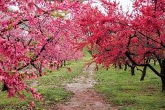 Mooie bloeiende perzikbomen in Hanamomo geen Sato, Iizaka Onsen, Fukushima, Japan stock foto's