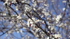 Mooie bloeiende pruimboom achtergrond met bloeiende bloemen in de lentedag stock videobeelden