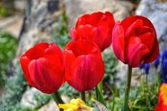 Mooie bloeiende rode tulpen in de tuin in de lente Stock Fotografie