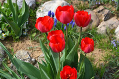 Mooie bloeiende rode tulpen in de tuin in de lente Royalty-vrije Stock Foto