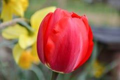 Mooie bloeiende rode tulpen in de tuin in de lente Royalty-vrije Stock Afbeeldingen