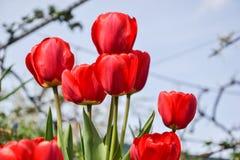 Mooie bloeiende rode tulpen in de tuin in de lente Royalty-vrije Stock Afbeelding