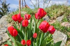 Mooie bloeiende rode tulpen in de tuin in de lente Stock Afbeeldingen