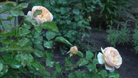 Mooie bloeiende roze en beige rozen in Engelse plattelandstuin Groene aardachtergrond met plaats voor tekst Stock Foto's