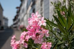 Mooie bloeiende roze flora in stad, de zomerachtergrond stock foto's