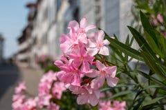 Mooie bloeiende roze flora in stad, de zomerachtergrond stock afbeeldingen