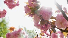 Mooie bloeiende roze kersenbloesems in de Japanse tuin stock video