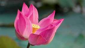 Mooie bloeiende roze lotusbloembloem stock footage