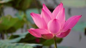 Mooie bloeiende roze lotusbloembloem stock videobeelden