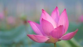 Mooie bloeiende roze lotusbloembloem stock video
