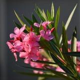 Mooie bloeiende roze oleander Een giftige, aardige installatie in het Middellandse-Zeegebied royalty-vrije stock foto's