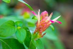Mooie bloeiende roze verse bloem die de macroclose-upspin het springen roze bloem van de spinbloem vertroebelen Stock Foto's