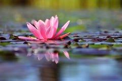 Mooie bloeiende roze waterlelie - lotusbloem in een tuin in een vijver Bezinningen over Waterspiegel stock afbeeldingen