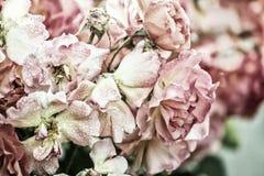 Mooie bloeiende rozen Royalty-vrije Stock Afbeelding
