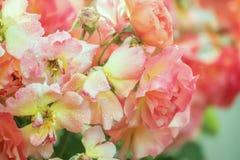 Mooie bloeiende rozen Royalty-vrije Stock Afbeeldingen