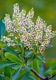 Mooie bloeiende tak met kleine witte bloemen met sappige groene bladeren Versheid en inspiratie Royalty-vrije Stock Foto