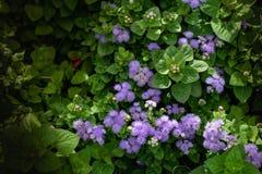 Mooie bloeiende violette bloem in de tuin met vaag stock afbeelding