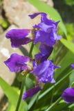 Mooie bloeiende violette bloemen in tuin Royalty-vrije Stock Foto's