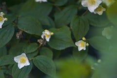 Mooie bloeiende witte bloemen dicht omhoog royalty-vrije stock fotografie