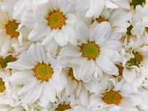 Mooie bloeiende witte chrysantenbloemen Royalty-vrije Stock Fotografie