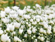 Mooie bloeiende witte chrysantenbloemen Stock Fotografie