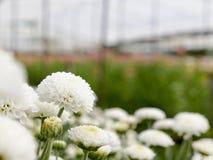 Mooie bloeiende witte chrysantenbloemen Royalty-vrije Stock Afbeeldingen