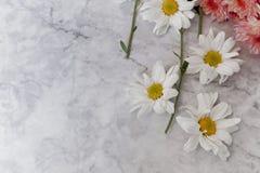 Mooie bloeiende witte chrysantenbloemen met groene bladeren Royalty-vrije Stock Foto's