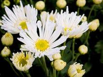 Mooie bloeiende witte chrysantenbloemen met groene bladeren Royalty-vrije Stock Afbeelding
