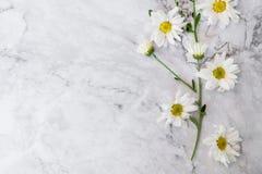 Mooie bloeiende witte chrysantenbloemen met groene bladeren Stock Foto's