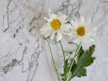 Mooie bloeiende witte chrysantenbloemen met groene bladeren Stock Foto