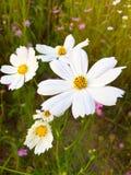 Mooie bloeiende witte kosmosbloemen Royalty-vrije Stock Foto's