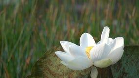 Mooie bloeiende witte lotusbloembloem stock footage