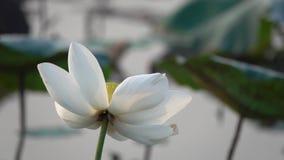 Mooie bloeiende witte lotusbloembloem stock video