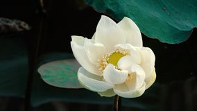 Mooie bloeiende witte lotusbloembloem stock videobeelden