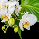 Mooie bloeiende witte orchideebloem, phalaenopsis en groen l royalty-vrije stock fotografie