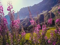 Mooie bloeiwijzen van wilde wilgenthee in alpiene weiden, close-up stock foto