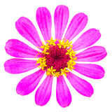Mooie bloem - chrysant Royalty-vrije Stock Afbeelding