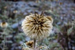Mooie bloem in de Bergen van Himachal Pradesh, India stock foto