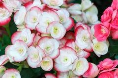 Mooie bloem en groene bladachtergrond in tuin Stock Afbeeldingen