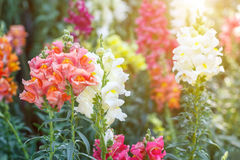 Mooie bloem en groene bladachtergrond in tuin Royalty-vrije Stock Fotografie