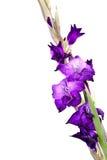 Mooie Bloem Gladiola Royalty-vrije Stock Afbeeldingen