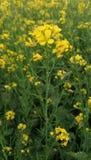 Mooie bloem Korrelsbloem, Gewassenbloemen De bloem van Nice dorpsgewas stock foto